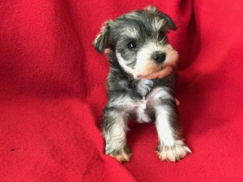ミニチュアシュナウザーの子犬(ID:1237211097)の5枚目の写真/更新日:2017-12-28