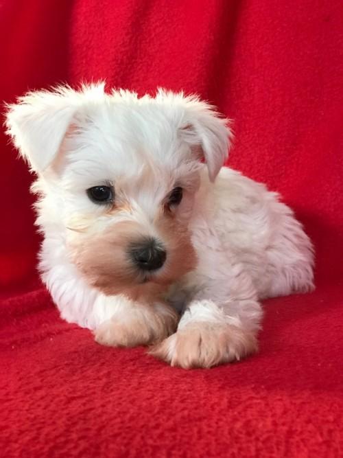 ミニチュアシュナウザーの子犬(ID:1237211098)の5枚目の写真/更新日:2018-01-09