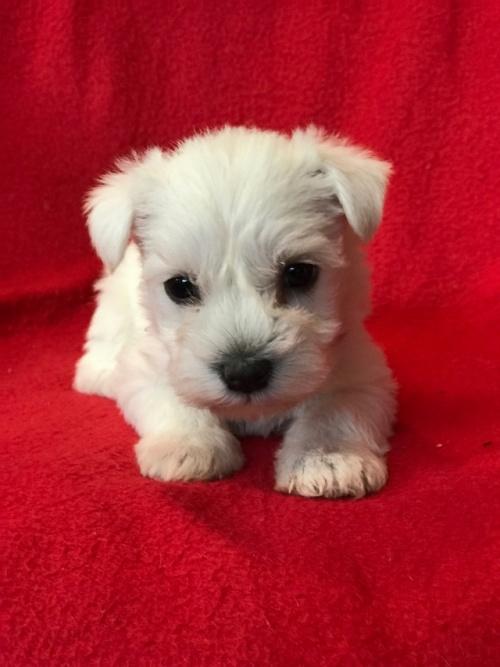 ミニチュアシュナウザーの子犬(ID:1237211101)の1枚目の写真/更新日:2018-01-04
