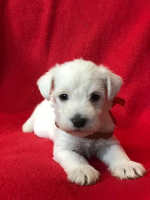 ミニチュアシュナウザーの子犬(ID:1237211103)の1枚目の写真/更新日:2018-01-04