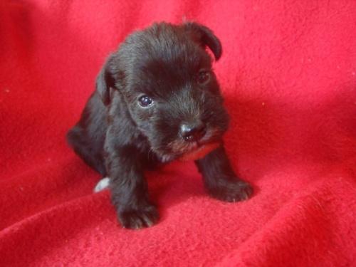 ミニチュアシュナウザーの子犬(ID:1237211104)の1枚目の写真/更新日:2018-03-19