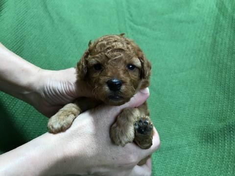 トイプードルの子犬(ID:1237311009)の1枚目の写真/更新日:2020-07-05