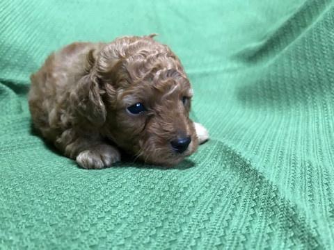 トイプードルの子犬(ID:1237311009)の2枚目の写真/更新日:2020-07-05