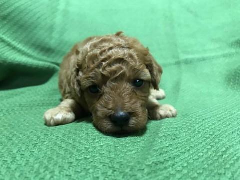 トイプードルの子犬(ID:1237311009)の3枚目の写真/更新日:2020-07-05
