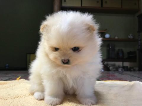 ポメラニアンの子犬(ID:1237311012)の1枚目の写真/更新日:2019-01-31