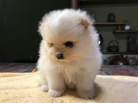 ポメラニアンの子犬(ID:1237311012)の2枚目の写真/更新日:2019-01-31