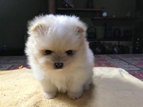 ポメラニアンの子犬(ID:1237311012)の3枚目の写真/更新日:2019-03-15