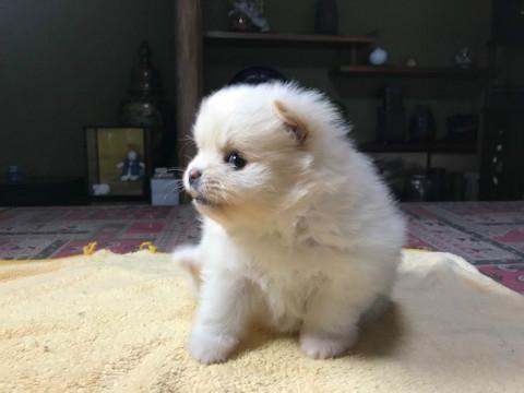 ポメラニアンの子犬(ID:1237311012)の4枚目の写真/更新日:2019-03-15