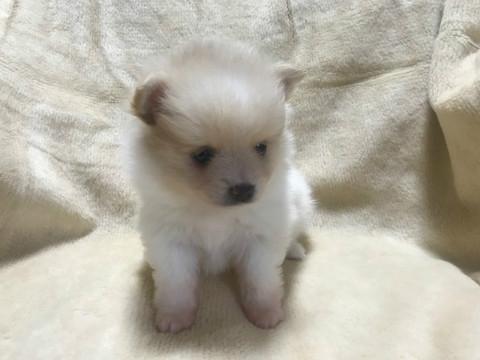 ポメラニアンの子犬(ID:1237311013)の2枚目の写真/更新日:2019-11-20