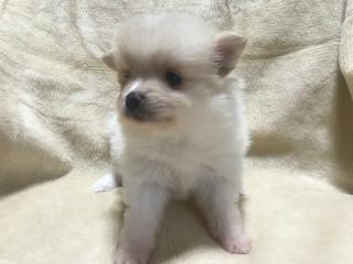 ポメラニアンの子犬(ID:1237311013)の3枚目の写真/更新日:2019-11-20