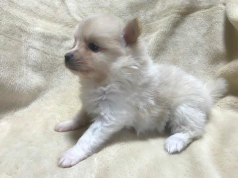 ポメラニアンの子犬(ID:1237311014)の2枚目の写真/更新日:2019-11-20