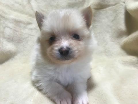 ポメラニアンの子犬(ID:1237311014)の3枚目の写真/更新日:2019-11-20