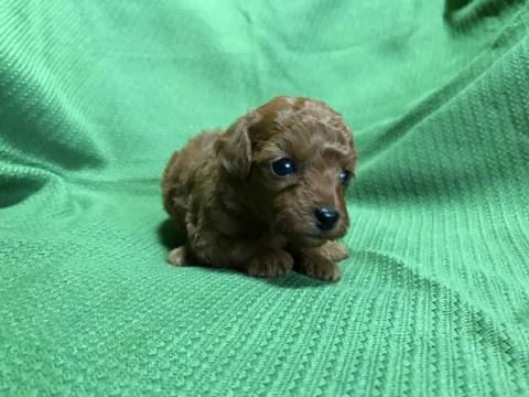 トイプードルの子犬(ID:1237311017)の2枚目の写真/更新日:2020-07-04