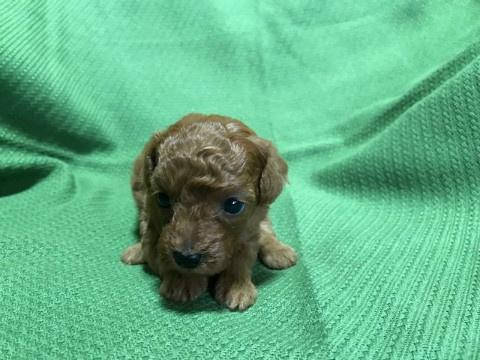 トイプードルの子犬(ID:1237311017)の3枚目の写真/更新日:2020-07-04