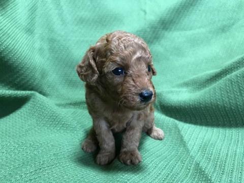 トイプードルの子犬(ID:1237311018)の1枚目の写真/更新日:2020-07-04