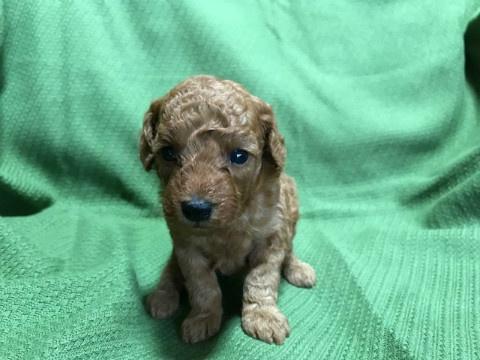 トイプードルの子犬(ID:1237311018)の2枚目の写真/更新日:2020-07-04