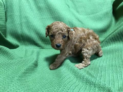 トイプードルの子犬(ID:1237311018)の3枚目の写真/更新日:2020-07-04