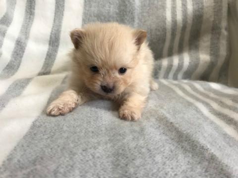 ポメラニアンの子犬(ID:1237311021)の2枚目の写真/更新日:2020-04-18