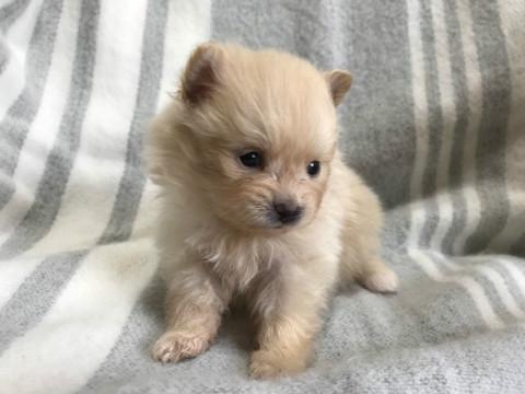ポメラニアンの子犬(ID:1237311021)の3枚目の写真/更新日:2020-04-18