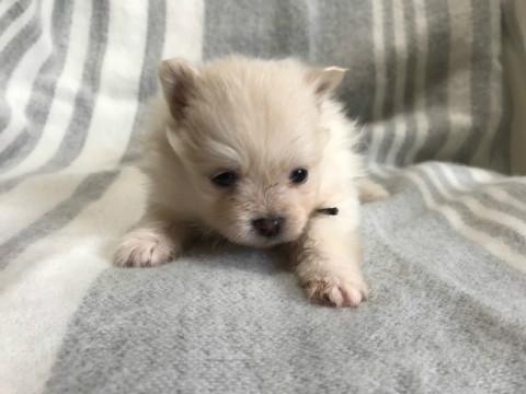 ポメラニアンの子犬(ID:1237311023)の3枚目の写真/更新日:2020-04-18
