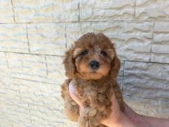 トイプードルの子犬(ID:1237311038)の1枚目の写真/更新日:2017-05-22