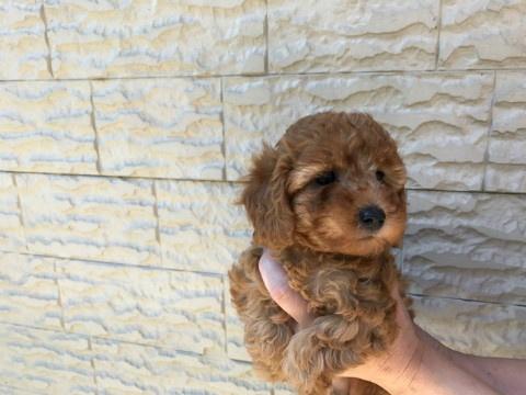 トイプードルの子犬(ID:1237311038)の2枚目の写真/更新日:2017-05-22