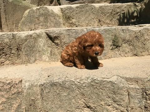 トイプードルの子犬(ID:1237311038)の5枚目の写真/更新日:2017-05-22