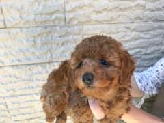 トイプードルの子犬(ID:1237311039)の1枚目の写真/更新日:2017-05-22