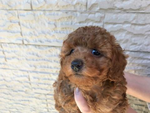 トイプードルの子犬(ID:1237311039)の2枚目の写真/更新日:2017-05-22