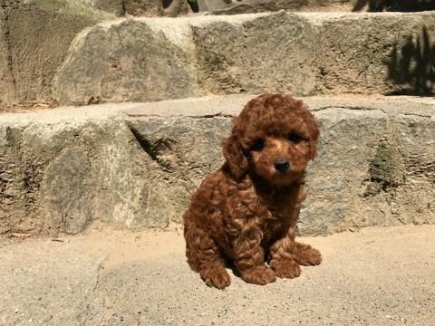 トイプードルの子犬(ID:1237311039)の3枚目の写真/更新日:2017-05-22