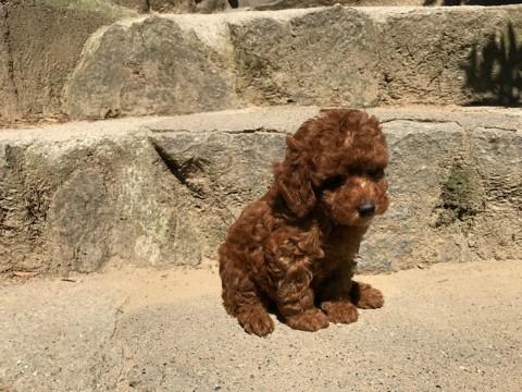 トイプードルの子犬(ID:1237311039)の4枚目の写真/更新日:2017-05-22