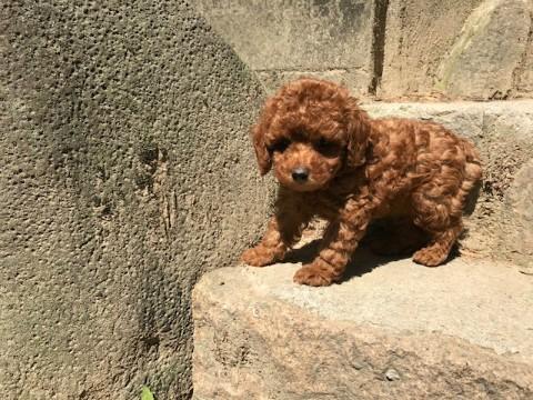トイプードルの子犬(ID:1237311039)の5枚目の写真/更新日:2017-05-22