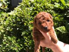 トイプードルの子犬(ID:1237311040)の1枚目の写真/更新日:2017-05-22