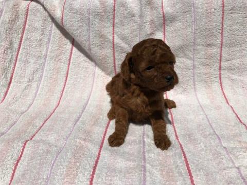 トイプードルの子犬(ID:1237311040)の3枚目の写真/更新日:2017-05-22