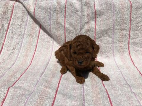 トイプードルの子犬(ID:1237311040)の4枚目の写真/更新日:2017-05-22