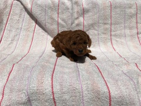 トイプードルの子犬(ID:1237311040)の5枚目の写真/更新日:2017-05-22