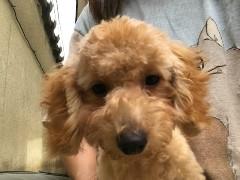 トイプードルの子犬(ID:1237311042)の1枚目の写真/更新日:2017-09-15