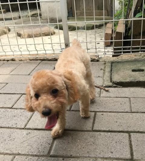 トイプードルの子犬(ID:1237311042)の2枚目の写真/更新日:2017-09-15