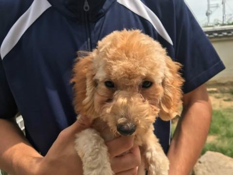 トイプードルの子犬(ID:1237311042)の3枚目の写真/更新日:2017-09-15