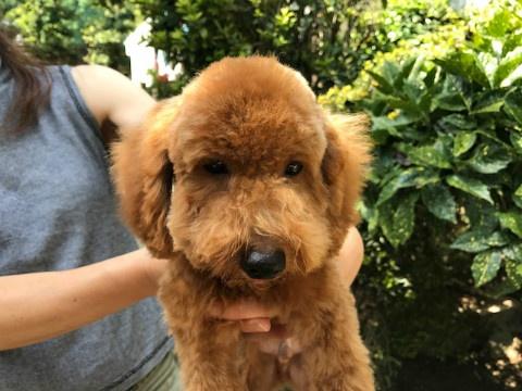トイプードルの子犬(ID:1237311043)の2枚目の写真/更新日:2017-09-15
