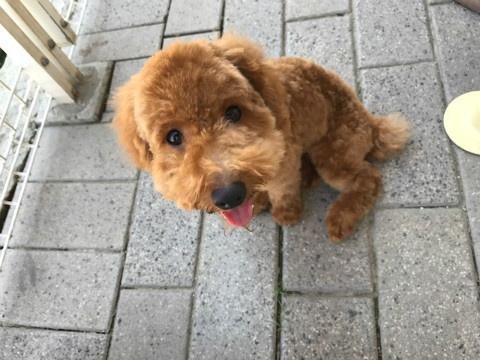 トイプードルの子犬(ID:1237311043)の3枚目の写真/更新日:2017-09-15