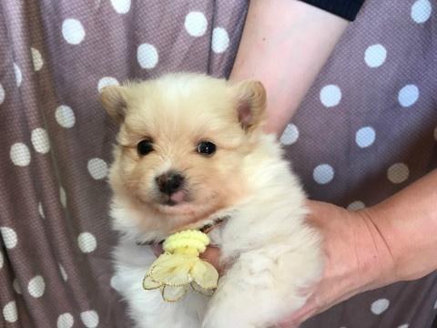 トイプードルの子犬(ID:1237311044)の1枚目の写真/更新日:2018-02-09