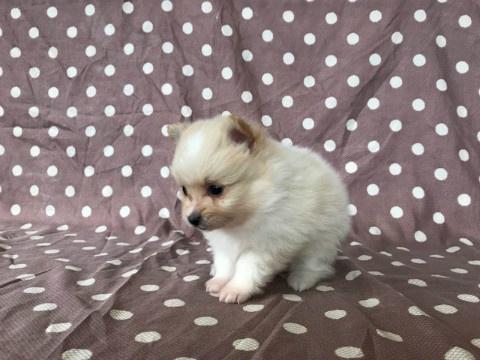 トイプードルの子犬(ID:1237311044)の2枚目の写真/更新日:2018-02-09