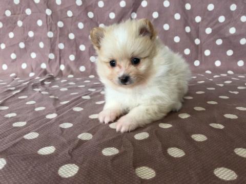 トイプードルの子犬(ID:1237311044)の3枚目の写真/更新日:2018-03-05