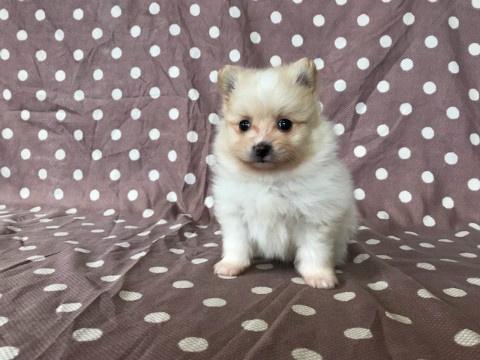 トイプードルの子犬(ID:1237311044)の4枚目の写真/更新日:2018-03-05