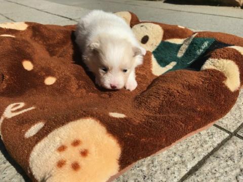 トイプードルの子犬(ID:1237311045)の2枚目の写真/更新日:2018-02-09