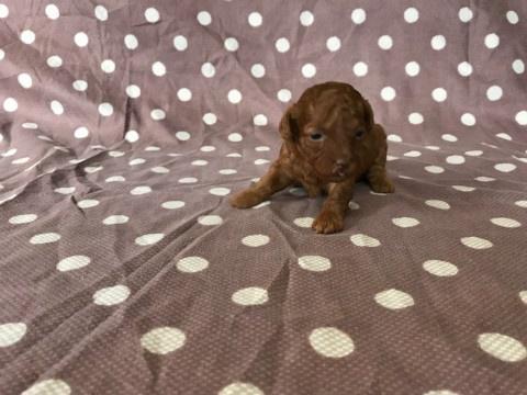 トイプードルの子犬(ID:1237311046)の1枚目の写真/更新日:2018-02-22