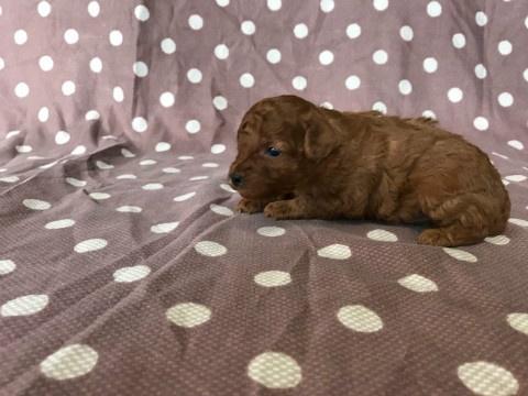 トイプードルの子犬(ID:1237311048)の1枚目の写真/更新日:2018-02-22