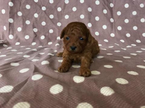 トイプードルの子犬(ID:1237311048)の2枚目の写真/更新日:2018-02-22