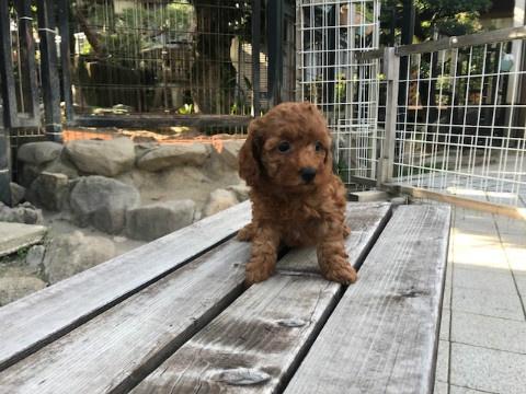 トイプードルの子犬(ID:1237311049)の1枚目の写真/更新日:2018-06-06